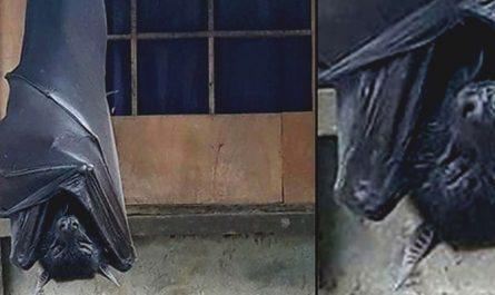 Imagem-de-Morcego-medindo-170cm-viraliza-na-internet-980x400
