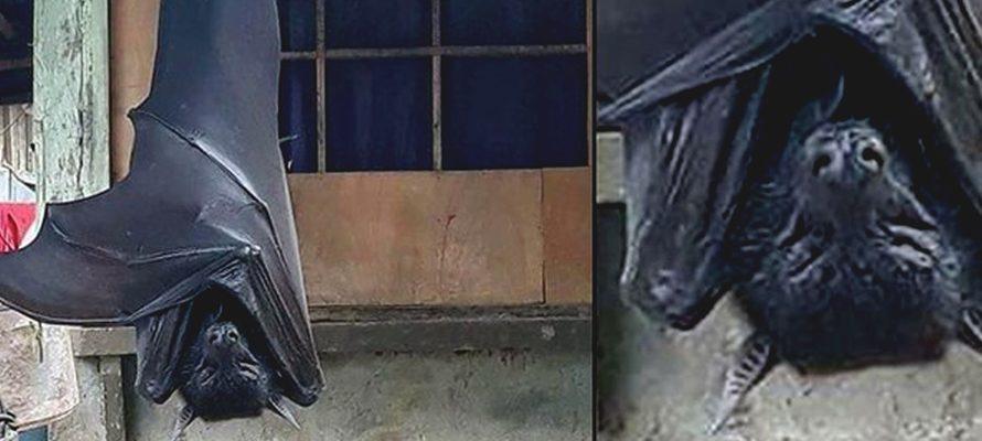 Imagem de Morcego medindo 1,7m viraliza na internet